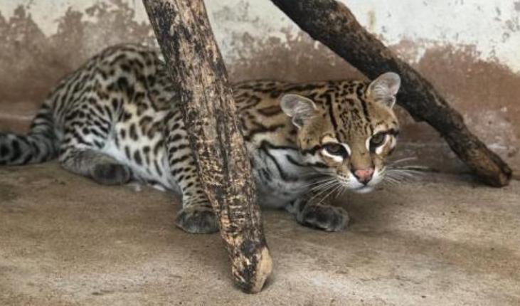 jaguatirica animais
