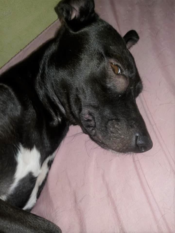 Ajude a Pituca: prudentina vende doces para custear cirurgia de cachorrinha