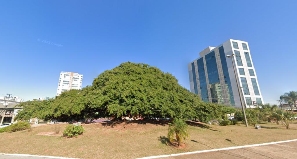 Copaíba localizada na Avenida Getúlio Vargas em Bauru é uma das árvores preservadas como patrimônio histórico da cidade