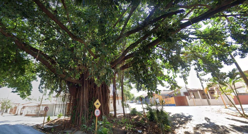 Entre as árvores patrimônio de Bauru, há a Falsa-Seringueira da Bernardino de Campos